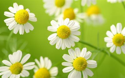 chamomile, blur, white flowers