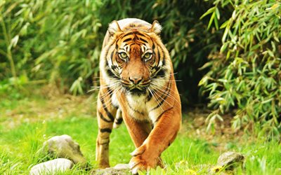 Sumatran tiger, predator, wildlife, forest, wild cat, tigers