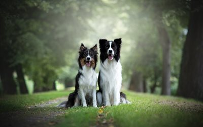 Border Collie, couple, black and white cute dogs, pets, fluffy dogs, park, forest