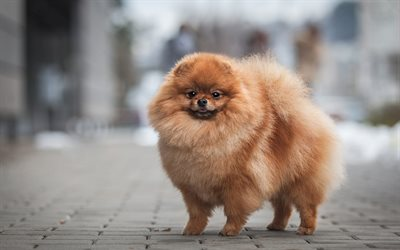 Pomeranian Spitz, brown fluffy dog, pets, cute animals, puppies, dogs