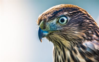 hawk, birds of prey, Accipitridae, beautiful birds, sparrowhawks