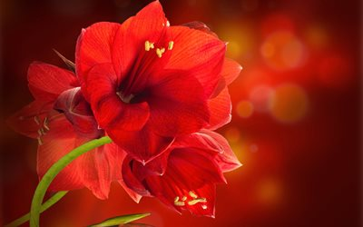 Amaryllis, 4k, macro, red flowers, bokeh, beautiful flowers, Amaryllidaceae