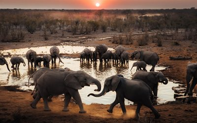 Herd of elephants, wildlife, elephants near the lake, Africa, elephants