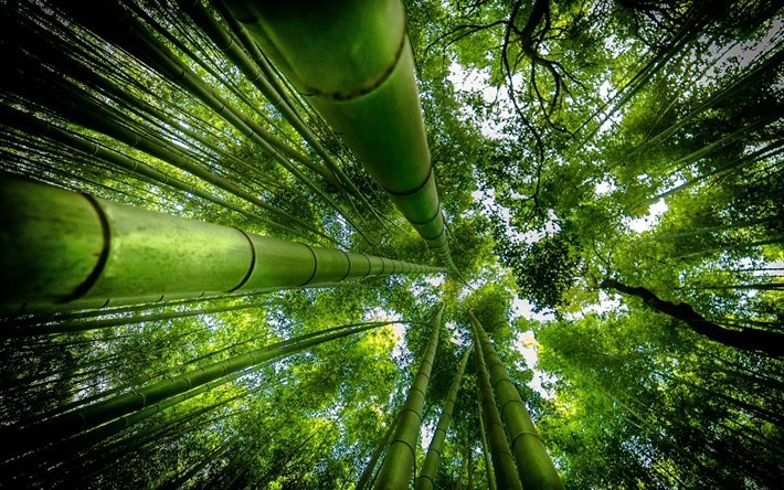 bamboo, forest, jungle, tall bamboo