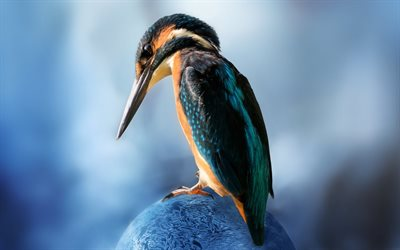 Kingfisher, close-up, small bird, Alcedinidae