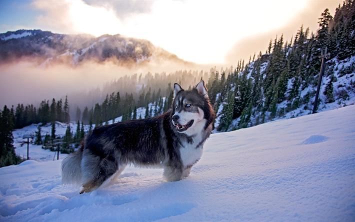 Perros Husky Siberiano Fondos De Pantalla Hd De Animales 2: Descargar Fondos De Pantalla Perro Husky, Invierno