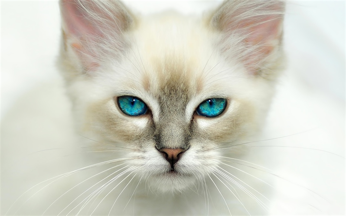 American Shorthair White Cat Muzzle Blue Eyes Pets Cats