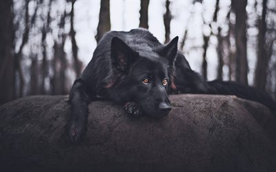 black german shepherd dog, traurigen hund, wald, niedlich, tiere, schäferhund, hunde, black dog, deutsch shepherd dog