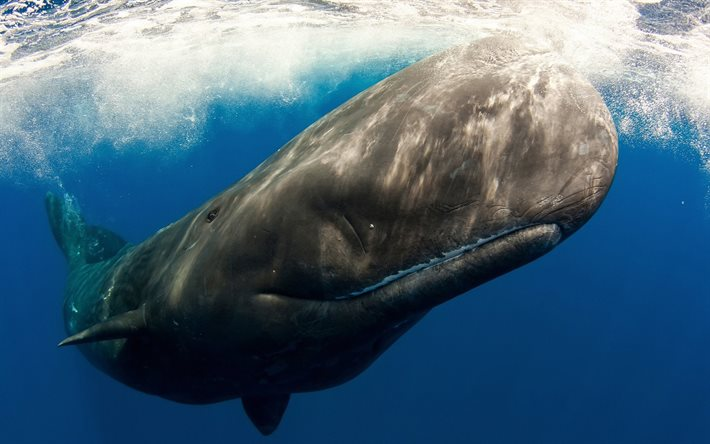 cachalot, wildlife, underwater world ocean, whale, Physeter macrocephalus, whales