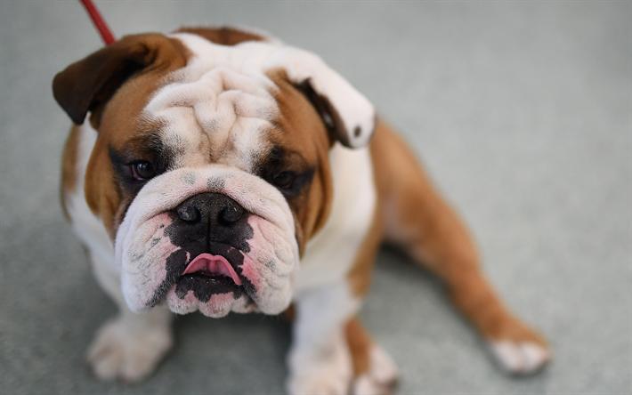 Herunterladen hintergrundbild englische bulldogge hunde for Minimalismus haustiere