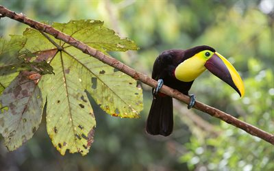 toucan, beautiful bird, tropical forest, South America, Mexico, Ramphastidae