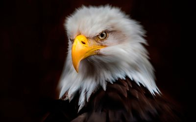 bald eagle, art, American bird, symbol, eagles, birds of prey, North America, USA