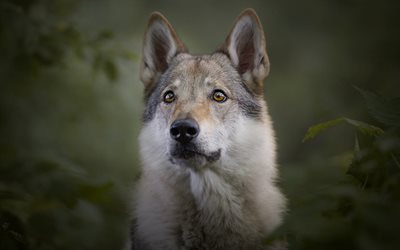 Saarlooswolfhond, gray fluffy dog, curious look, pets, dogs, Saarloos wolfdog
