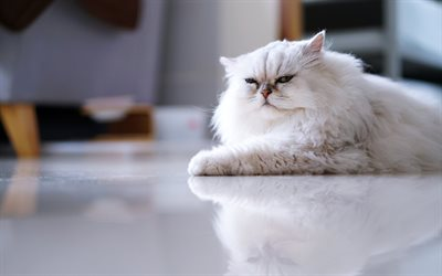 Persian cat, white fluffy cat, pets, displeased look, cute animals, cats