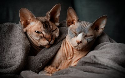 cats without hair, sphynx, pets, cats, cute animals