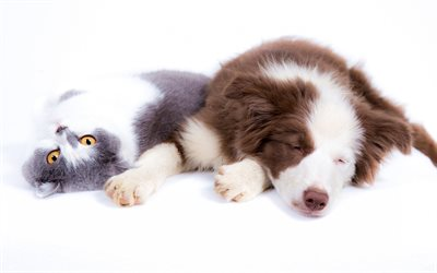 dog and cat, friends, cute animals, australian shepherd, gray background, friendship concepts, pets on a white background