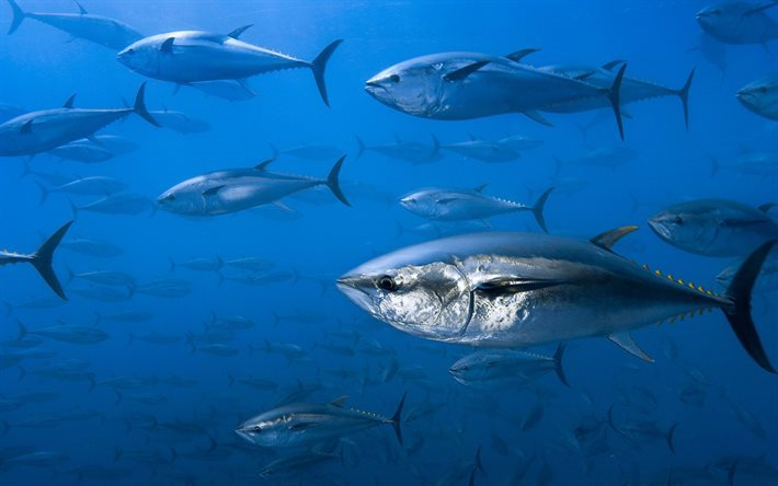 tuna, underwater, ocean, fish, flock of fish