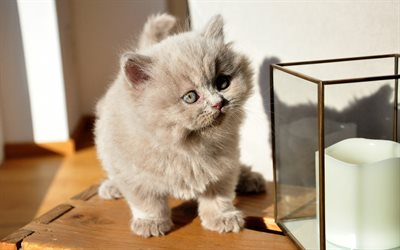 British shorthair cat, gray little kitten, fluffy kitten, cute animals, cats, kittens