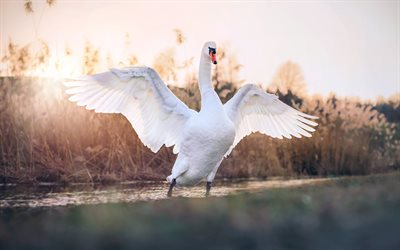 white swan, close-up, wildlife, white bird, lake, swans, Cygnini