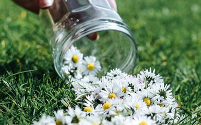 chamomiles, flowers on the grass, chamomiles on the grass, glass jar with chamomiles