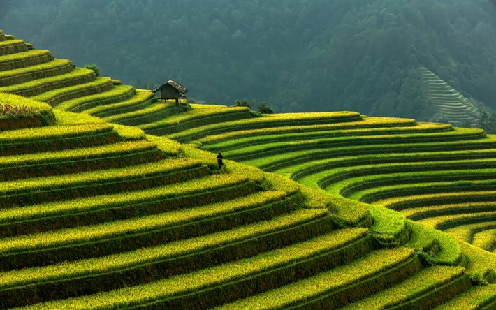 rice fields, Vietnam, green steps, rice terraces, rice cultivation