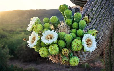 white flowers on a cactus, evening, sunset, cactus, desert