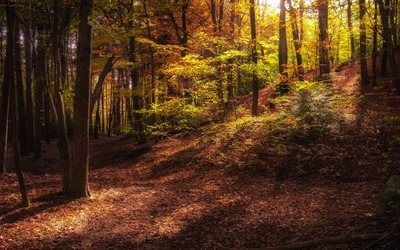 autumn forest, evening, trees, fallen leaves, autumn