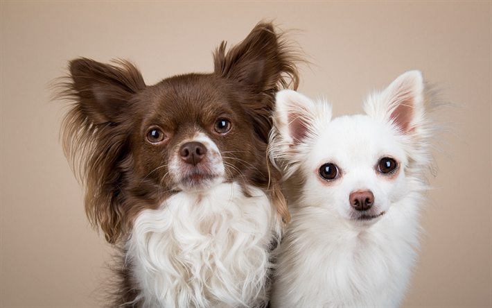 Chihuahua, cute dogs, brown dog, white dog, cute animals, dogs