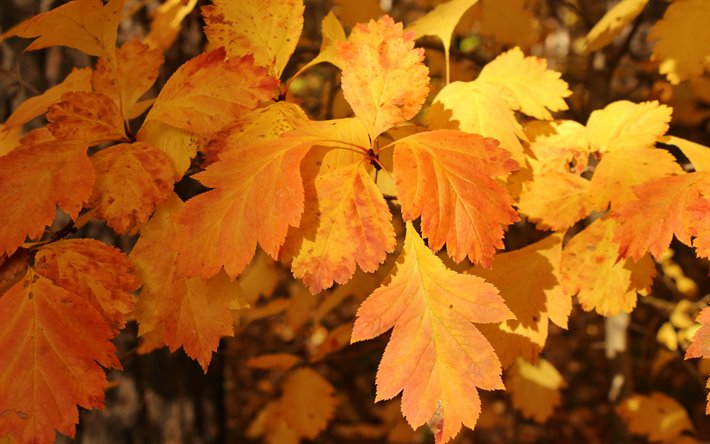 autumn leaves, yellow leaves, autumn, time of year, leaves texture