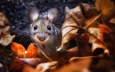 mouse, autumn, bokeh, yellow leaves, rodents