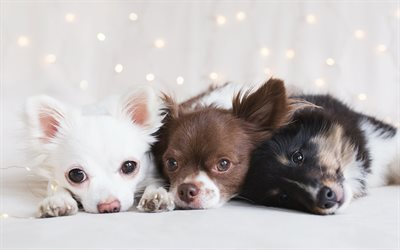Chihuahua, different puppies, cute little dogs, border collie, friendship concepts