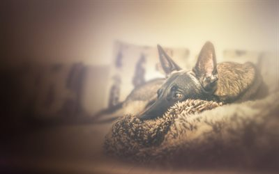 German Shepherd, pets, cute animals, bokeh, close-up, dog on the couch, dogs, German Shepherd Dog