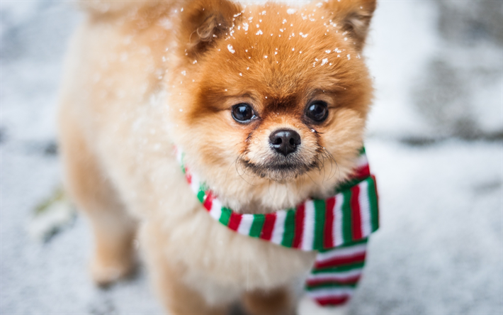 Simple Pomeranian Anime Adorable Dog - thumb2-pomeranian-spitz-little-cute-dog-winter-snow-pets  Perfect Image Reference_381069  .jpg
