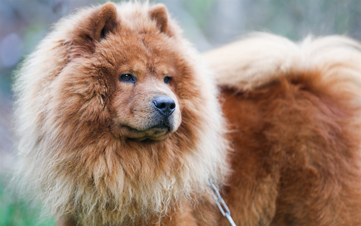 Fantastic Fluffy Brown Adorable Dog - thumb2-chow-chow-fluffy-dog-puppy-pets-cute-dog  Pictures_3197  .jpg