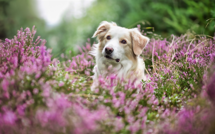 Golden Retriever, lavender, cute dogs, pets, bokeh, dogs, Golden Retriever Dog, cute animals