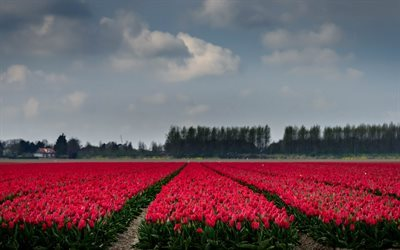 Field of tulips, pink tulips, Holland, wild flowers, tulips