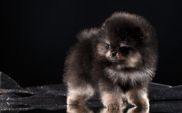 download wallpapers pomeranian fluffy puppy dog black