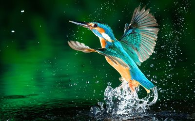 Kingfisher, lake, macro, exotic birds, wildlife, small birds, Alcedinidae