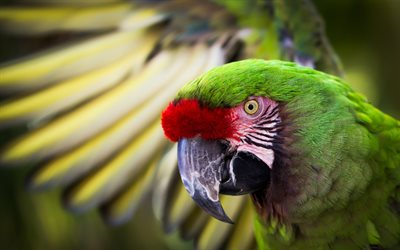 Great green macaw, bokeh, great military macaw, green macaw, beautiful green bird, exotic birds, macaw, parrots, green parrot