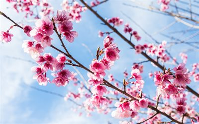 sakura, spring blossoms, pink flowers, branches, cherry blossoms, blue sky