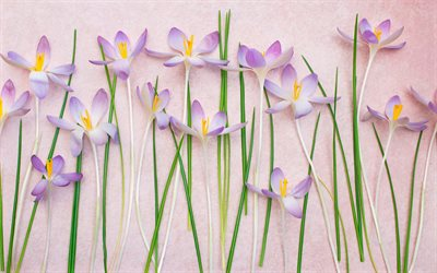 crocuses on a pink background, spring flowers, crocuses, background with purple flowers, floral background