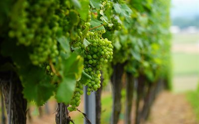 green grapes, macro, fruit, white grapes, vineyard