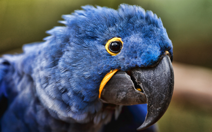 Hyacinth macaw, close-up, blue parrots, wildlife, blue macaw, Anodorhynchus hyacinthinus, parrots, macaw