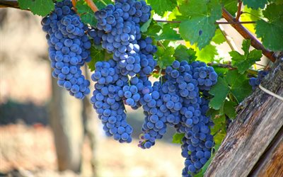 grapes, harvest, autumn, vineyard, bunch of grapes, fruits