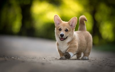 small dog, Pembroke Welsh Corgi, puppy, cute animals, pets, dogs, Wales, United Kingdom