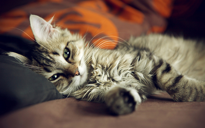 gray fluffy cat, tired cute cat, pets, cute animals, American Bobtail, cats