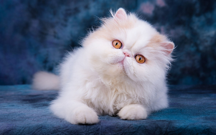 Persian Cat, close-up, yellow eyes, fluffy cat, kitten, cats, domestic cats, white cat, pets, Persian