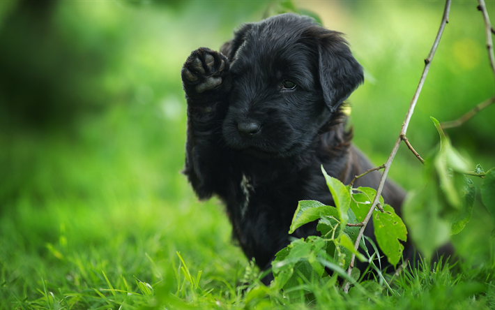 black puppy, labrador, black retriever, puppies, little cute dog, pets, dogs