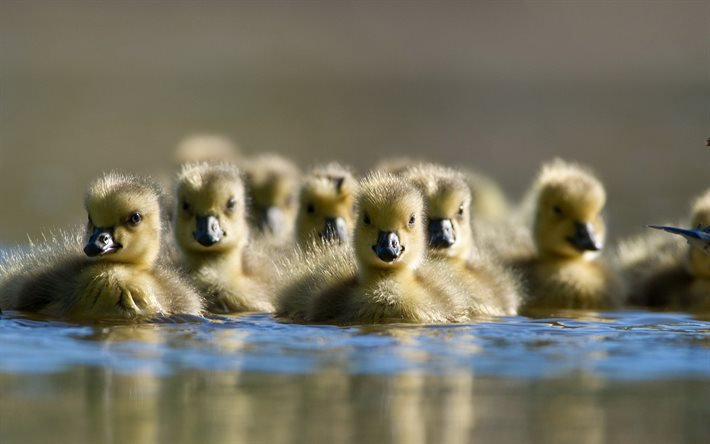 ducklings, bokeh, little ducks, lake, flock of ducklings, wildlife, ducks