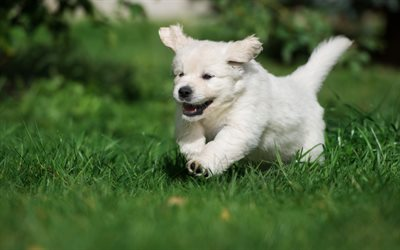 retriever, puppy, small dog, green grass, cute animals, white retriever